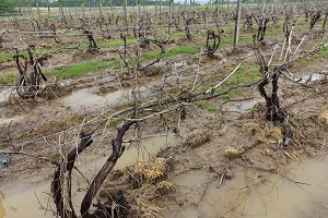 Drift injury can be devastatingly costly in vineyards and other specialty crop farms.