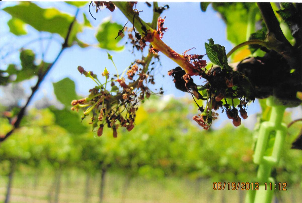 Figure 4. Uneven and aborted fruit set on injured grapes. (Photo: Doohan)