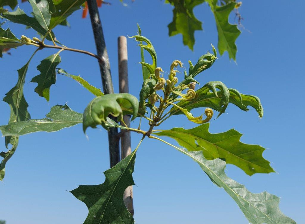 Dicamba damage to pin oak foliage (Dr. Kevin Bradley, University of Missouri)