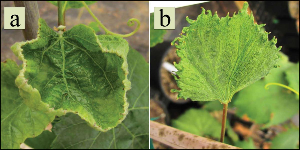 Grape leaves damaged by driftable rates of a) dicamba and b) 2,4-D (Doohan)